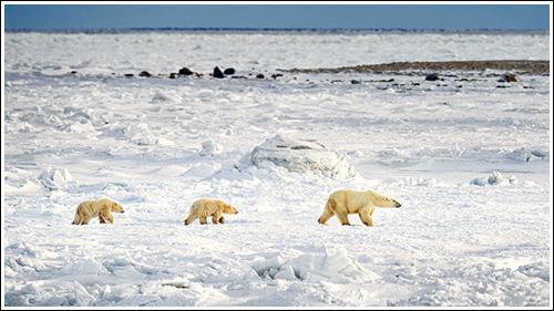 Polar-Bear-On-Ice-With-Cubs-blog