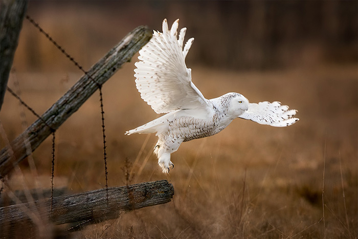 snowy-owl-take-off
