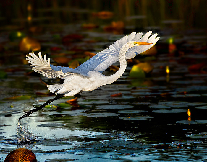 Egret-Takeoff-21