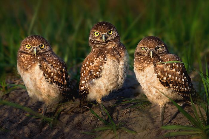 Three-Irritated-Little-Owlets