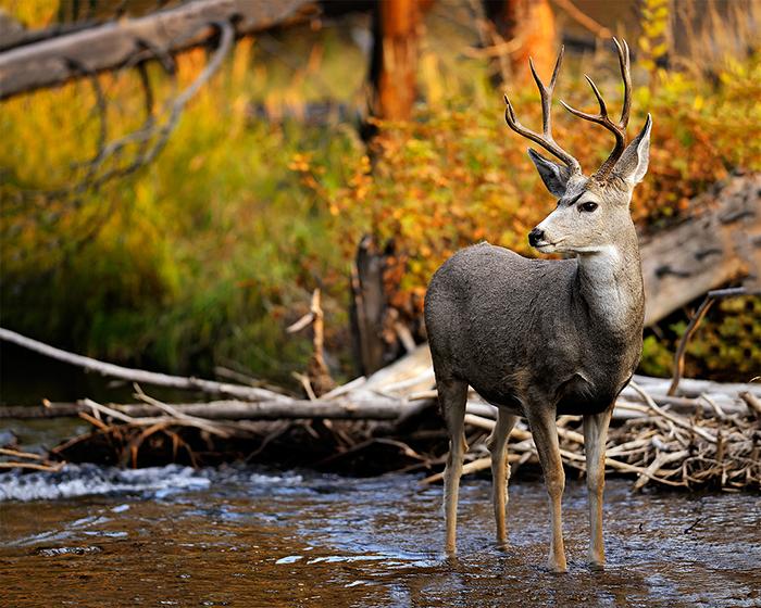 buck-in-a-stream