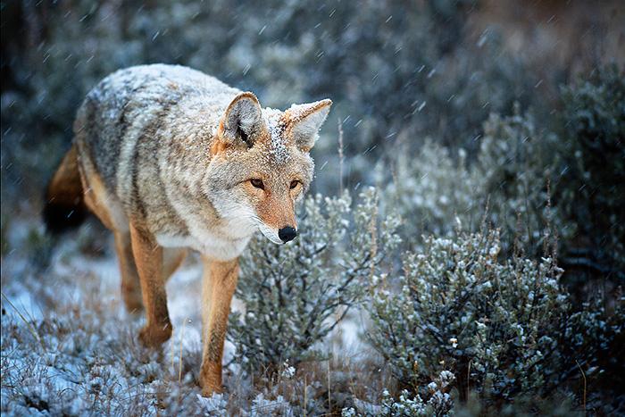 coyote-in-snow-copy