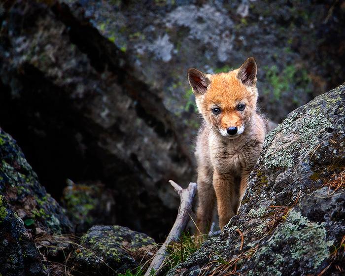 coyote-pup