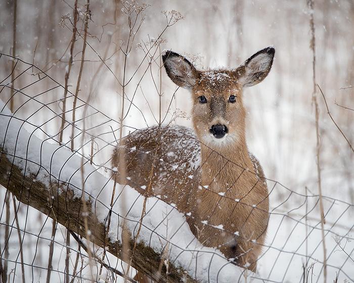 doe-along-a-fence