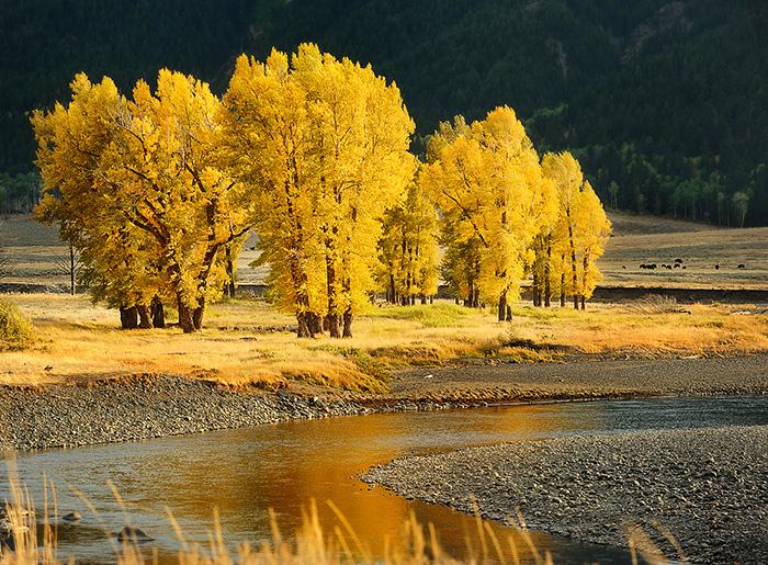 trees-in-fall-lamar-river-copy