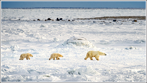 Polar-Bear-On-Ice-With-Cubs-blog