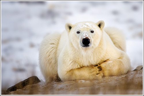 Polar-Bear-Taking-A-Break-blog