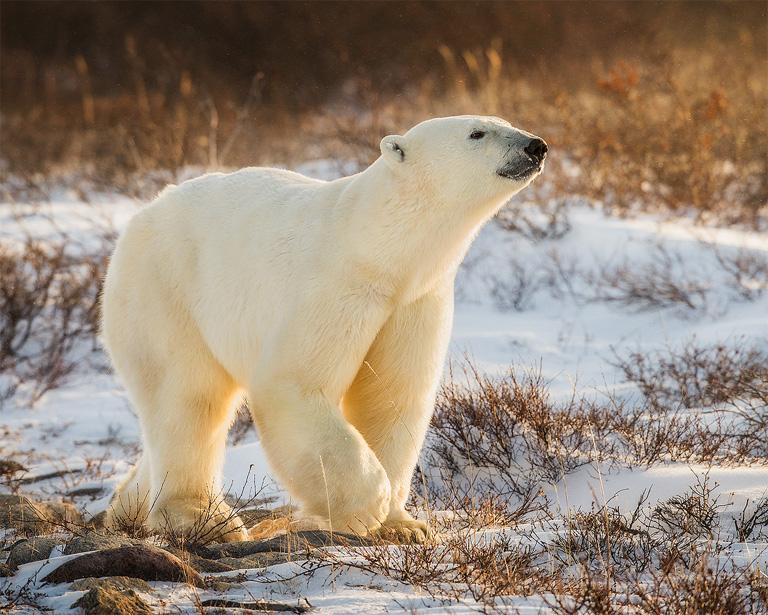 Arctic titan