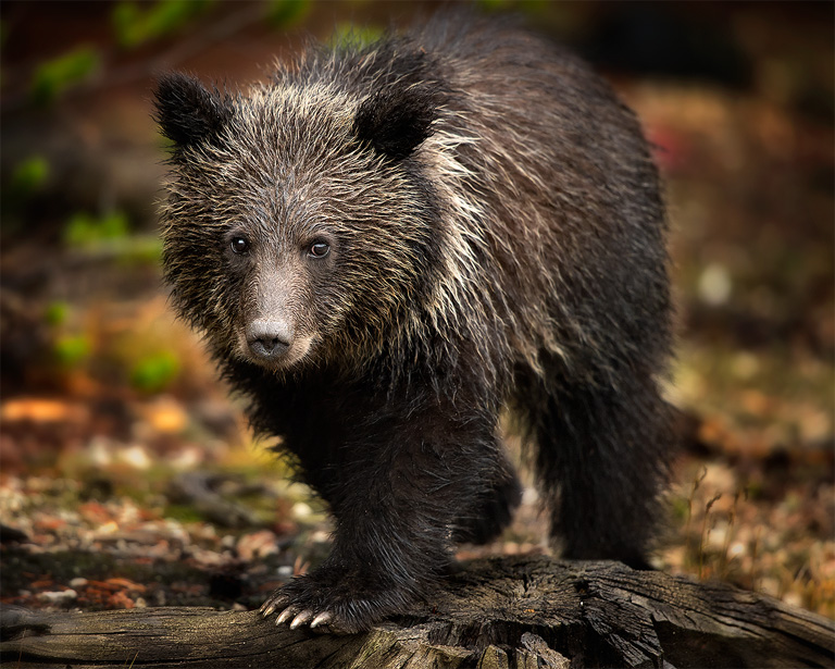 Grizzly Cub