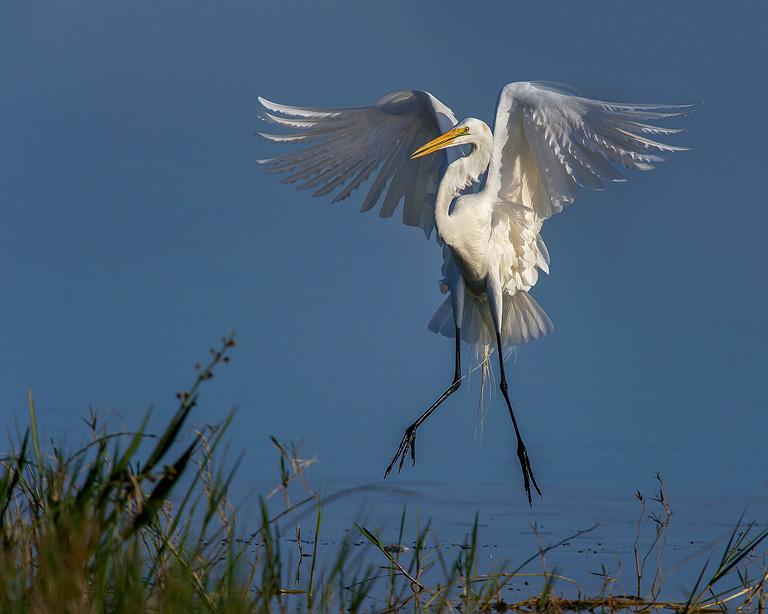 Hovering Egret