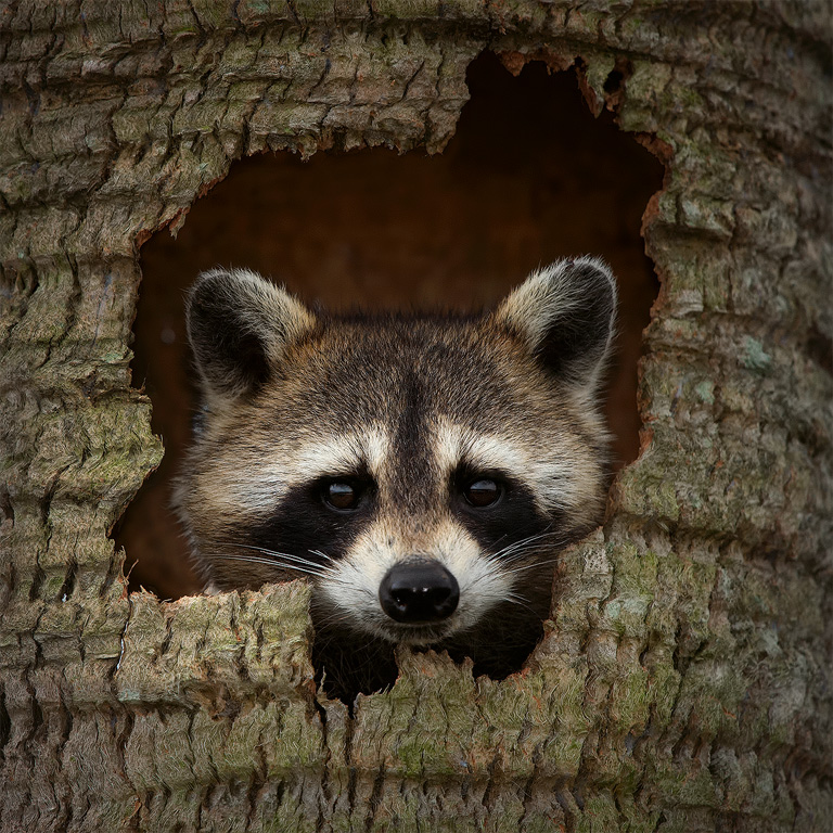 Raccoon hideout
