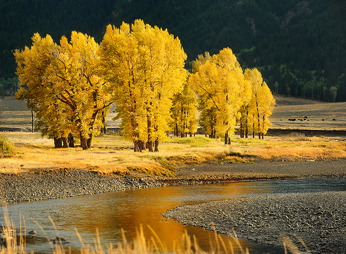 trees-in-fall-lamar-river-copy