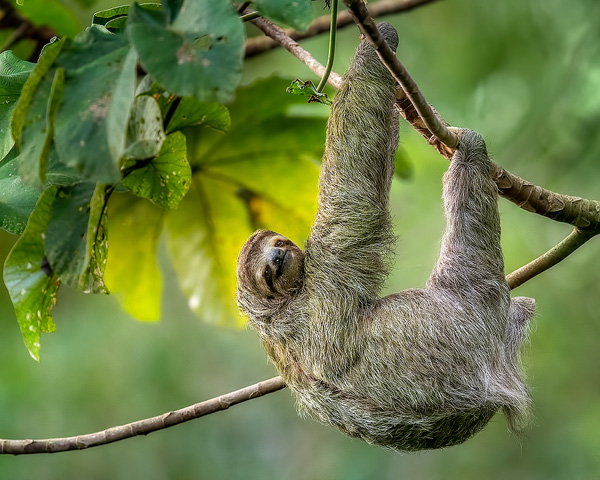 600 hanging three toed sloth